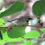 golden_winged_warbler1