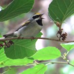 golden_winged_warbler2