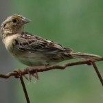 grasshopper_sparrow_bostwick