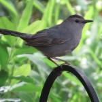 gray_catbird_coming_to_birdbath