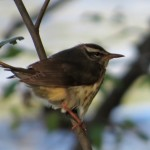 louisiana_waterthrush_botgarden