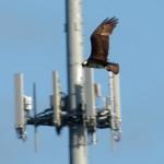 osprey_herrick
