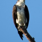 osprey_herrick_perched_apr14