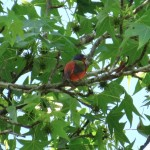 painted_bunting_macon