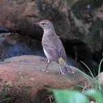 palm_warbler