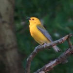 prothonotary_warbler_macon