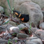 redstart_blackpoll1