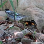 redstart_blackpoll2