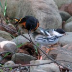 redstart_blackpoll3