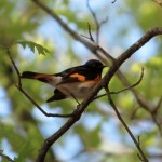 redstart_botgarden_apr14