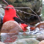 scarlet_tanager_male