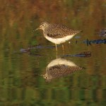 solitary_sandpiper_reflected