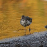 spotted_sandpiper_golden_water