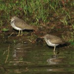 spotted_sandpipers_herrick_apr14