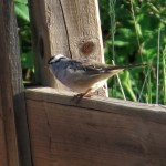 white_crowned_sparrow_milledge