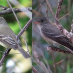 willow_pewee_comparison