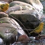 yellow_warbler_duo