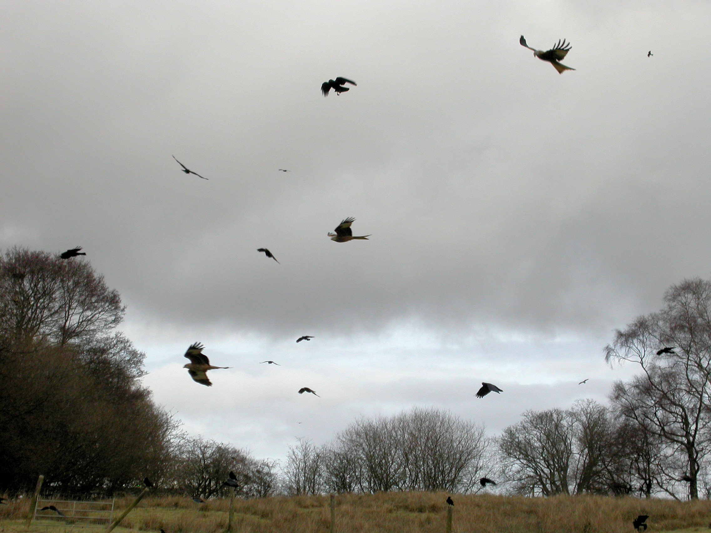 Crow Flying Over Head by a few Carrion Crows