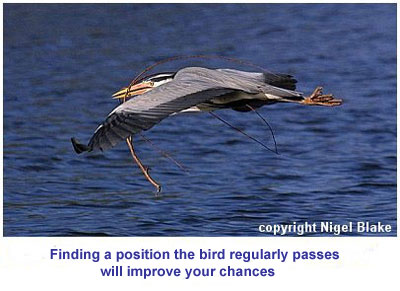 bird picture Grey Heron