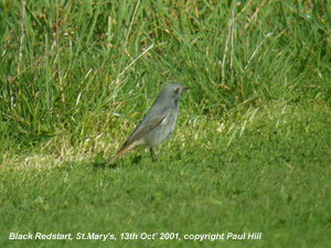 bird picture Black Redstart