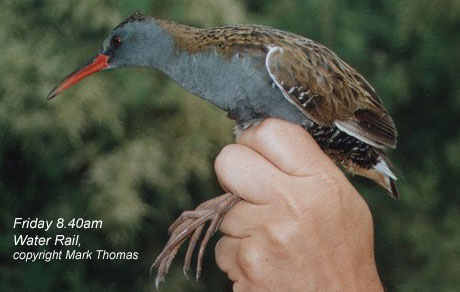 bird picture Water Rail