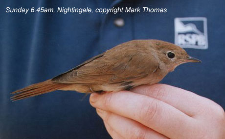 bird picture Common Nightingale