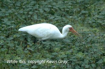 bird picture White Ibis
