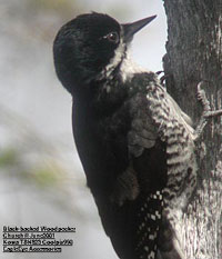 bird picture Black-backed Woodpecker