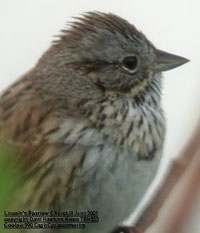 bird picture Lincoln's Sparrow