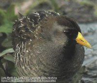 bird picture Sora Rail