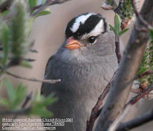 bird picture White-crowned Sparrow