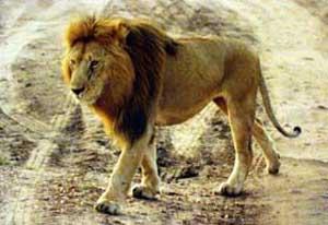 البوم صور حيوانات جزائرنا 2002-18-03-lion.jpg