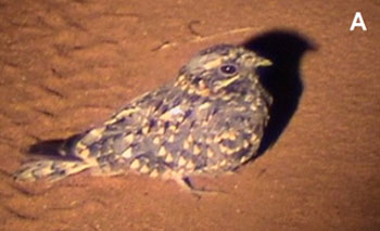 bird picture Montane Nightjar (possible)