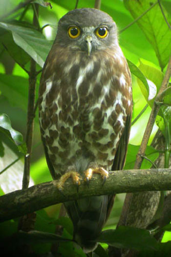 nature animals of brown hawk owl photos