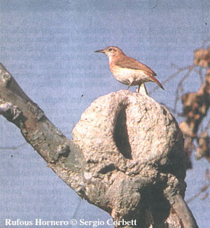 bird picture Rufous Hornero