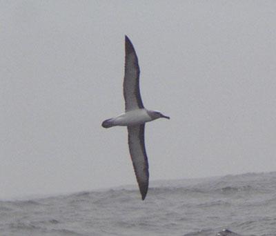 Buller�s Albatross