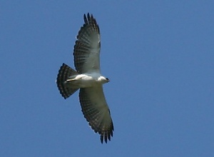 Black-and-white Hawk-eagle