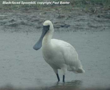 bird picture Black-faced Spoonbill