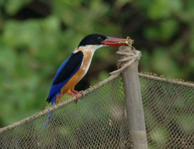 Black-headed Kingfisher