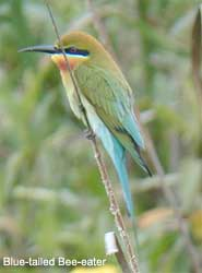 bird picture Blue-tailed Bee-eater