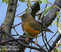 bird picture Brown Thrush