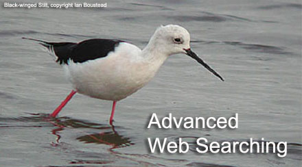 Black-winged Stilt, copyright Ian Boustead