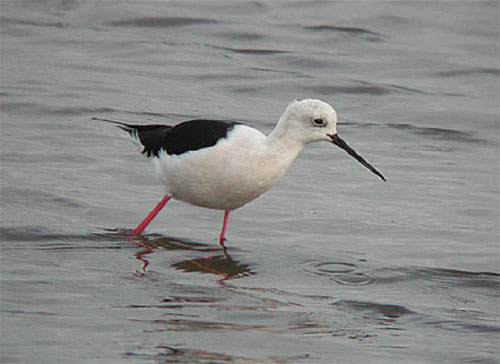 Black-winged Stilt, Titchwell