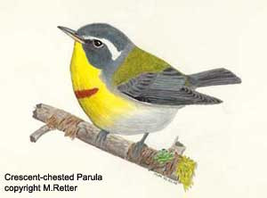 Crescent-chested Parula