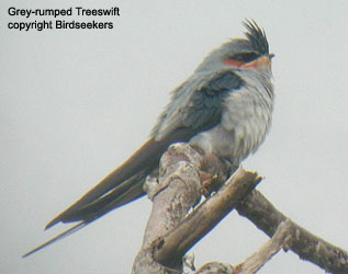 bird picture Grey-rumped Treeswift