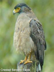 bird picture Crested Serpent Eagle