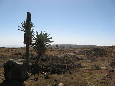 Giant Lobelias high on the Sanetti Plateau