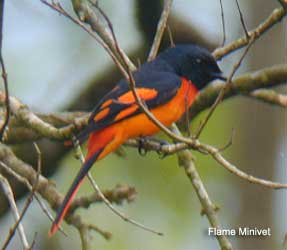 bird picture Flame Minivet