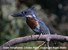 bird picture Giant Kingfisher