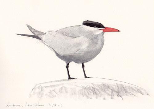 White Tern Drawing Caspian Tern at Gotland
